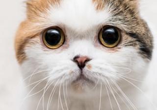 Tosa em gatos Vetopet