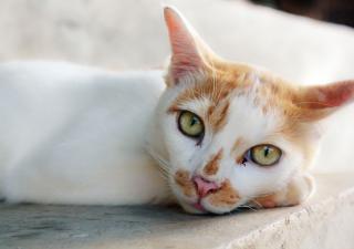 Insuficiência Renal em Felinos