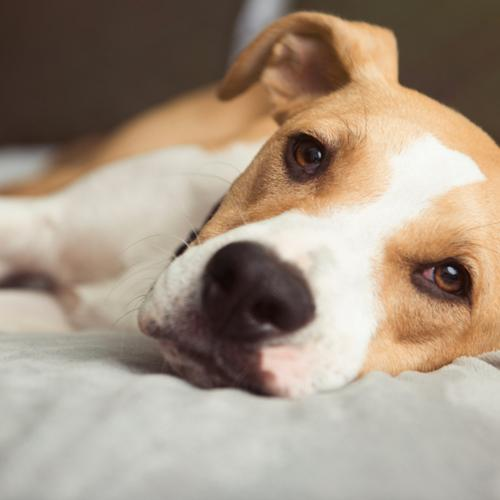 osteoartrite canina